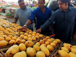 mangoes can cause cancer