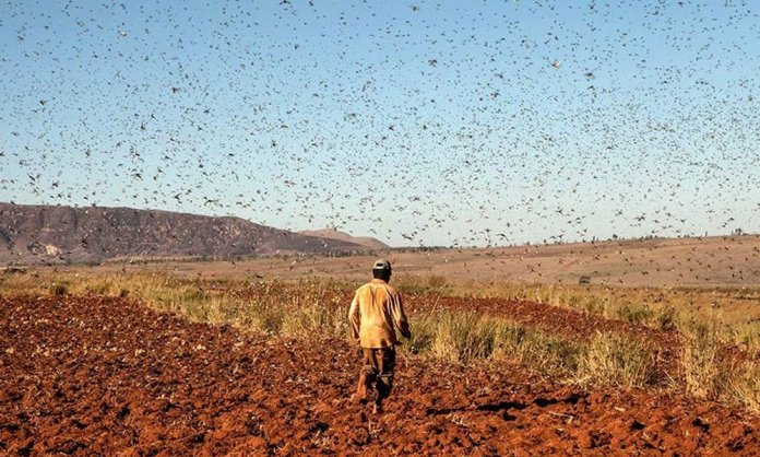 locusts in karachi