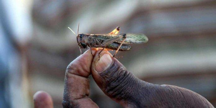 Karachi grasshoppers