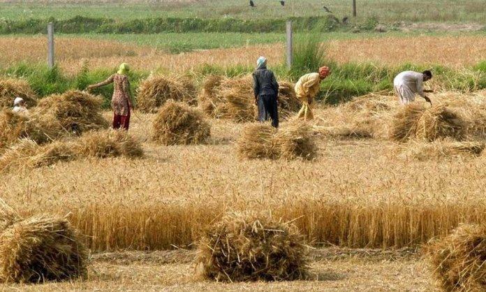 Wheat Crops in KP