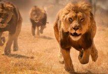 Lions in Karachi
