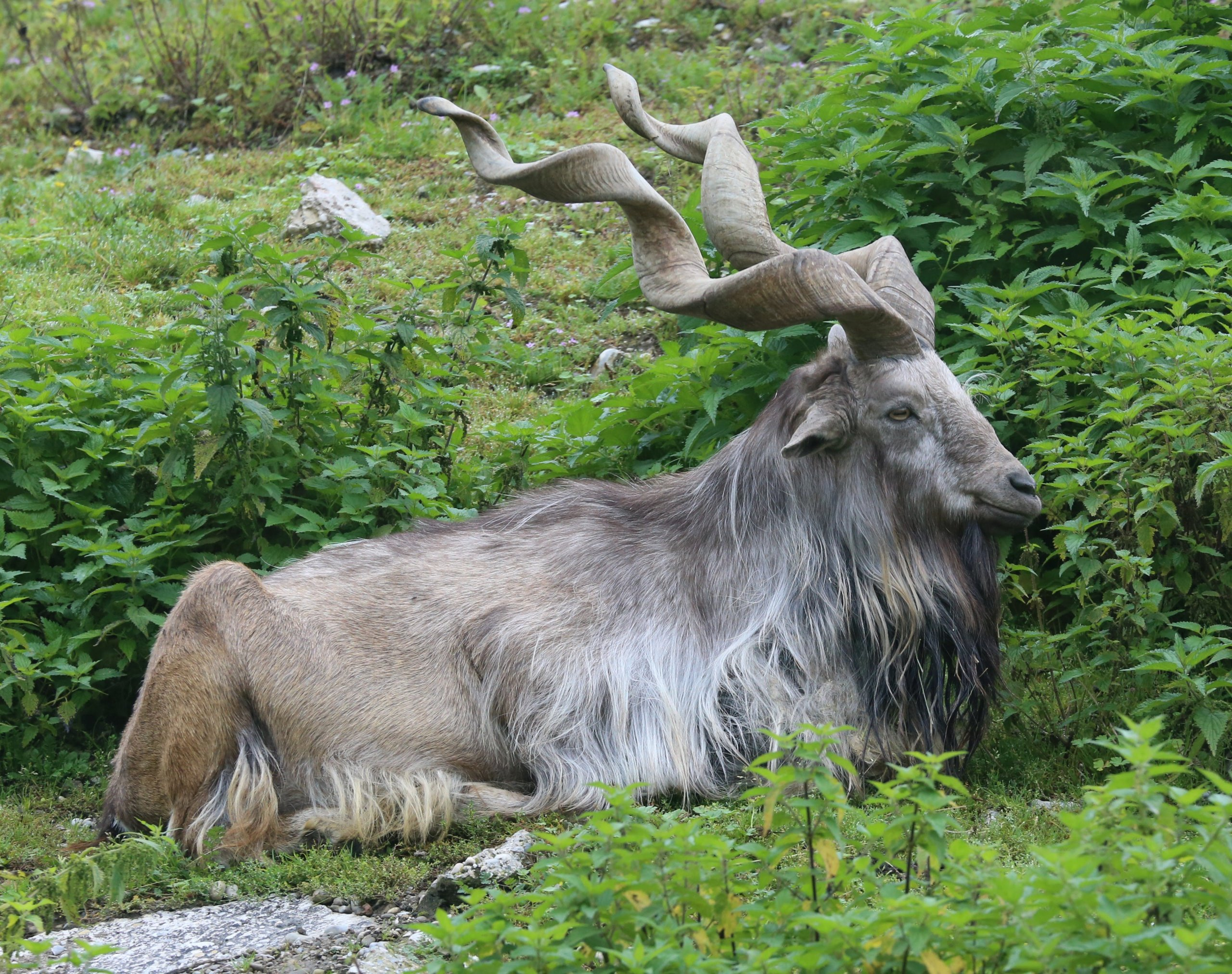 Markhor Hunted By American
