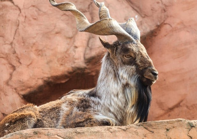 American hunter kills Markhor