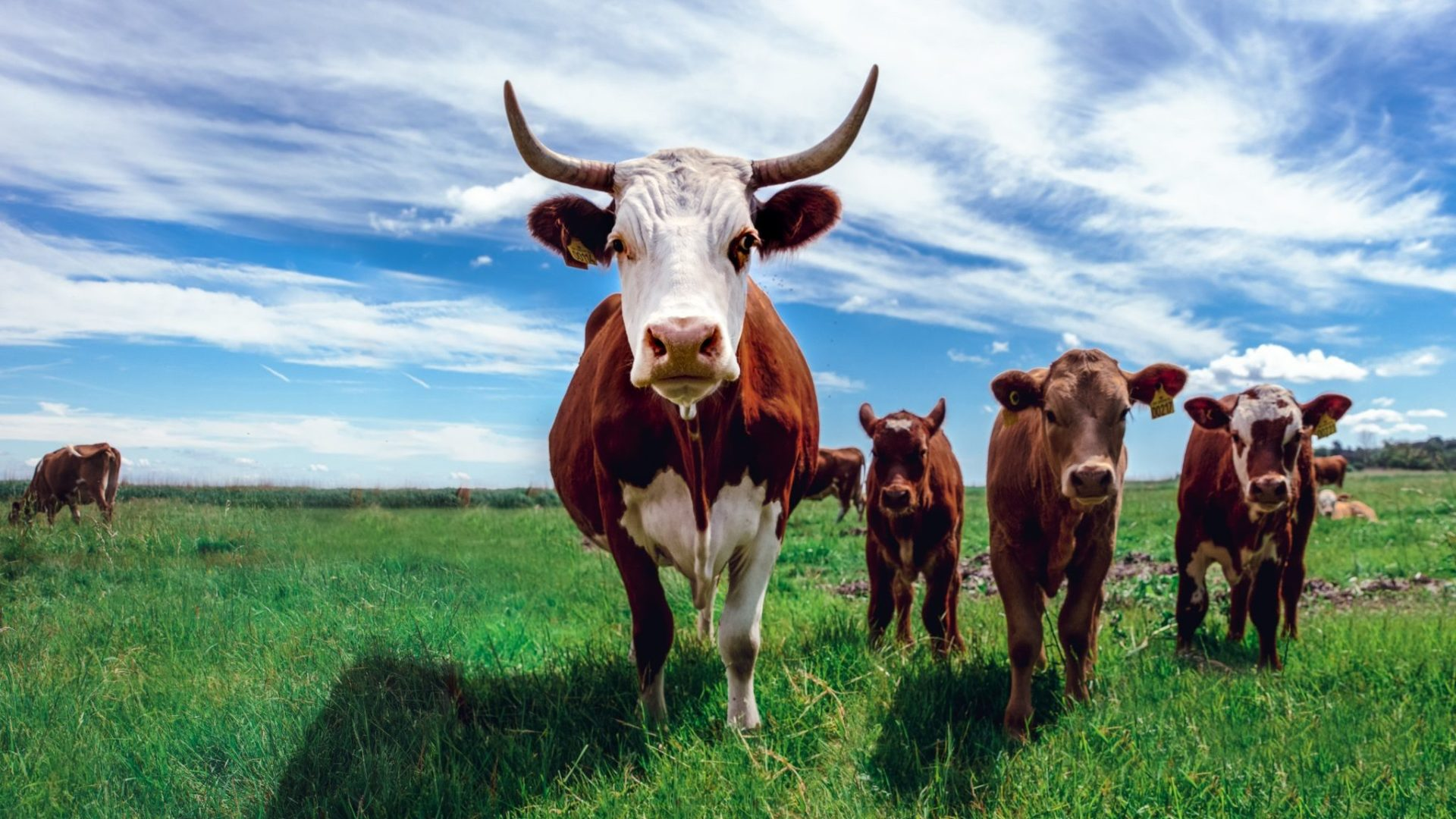 Cattle and switch to synthetic by Bill Gates