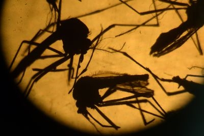 Aedes aegypti mosquitos are photographed in a laboratory at the University of El Salvador, in San Salvador, on February 3, 2016