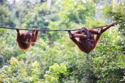 Borneo's famous orangutans.