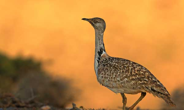 houbara-bustard in Pakistan